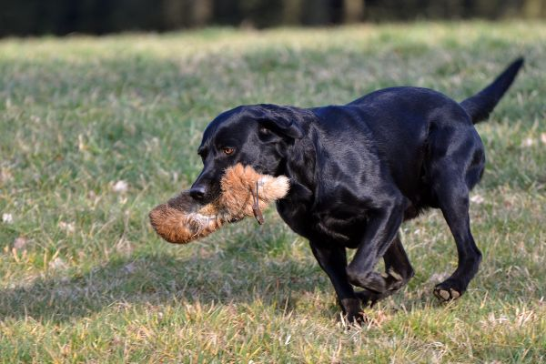 Dummy-Training (Labrador Retriever)