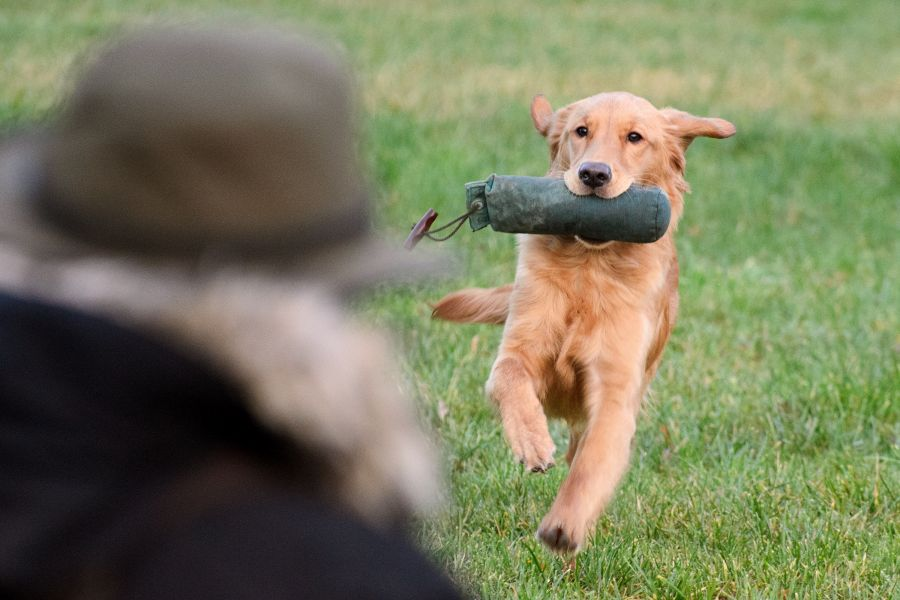 Golden Retriever (Arbeitslinie) beim Dummy-Training