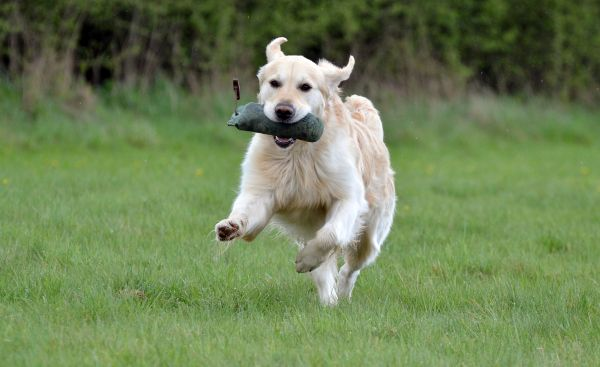Golden Retriever beim Dummy-Training
