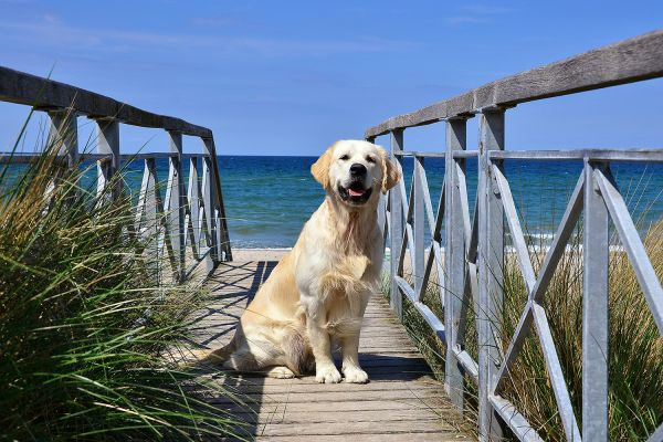 Golden Retriever Carlos am Strand von Heiligendamm