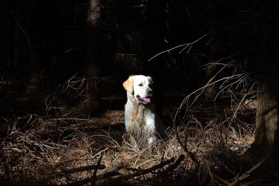 Golden Retriever Carlos im Wald