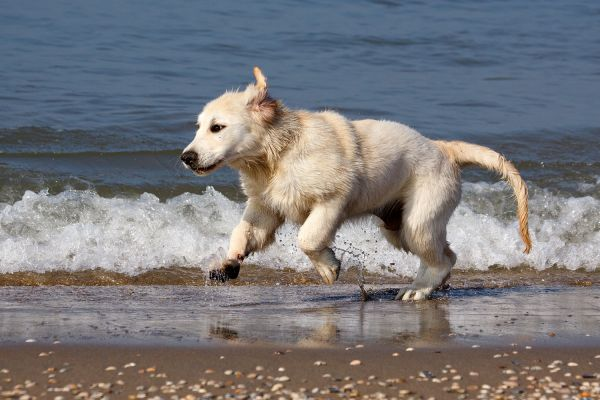 Golden Retriever Carlos in der Nordsee