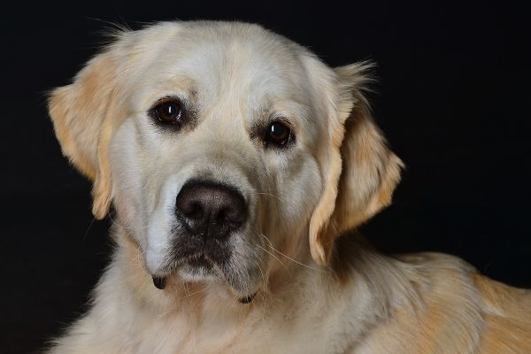 Golden Retriever im Fotostudio