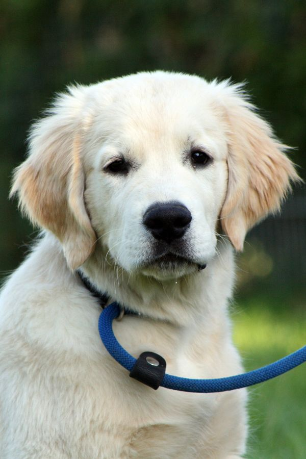 Golden Retriever Welpe Dusty 15 Wochen alt