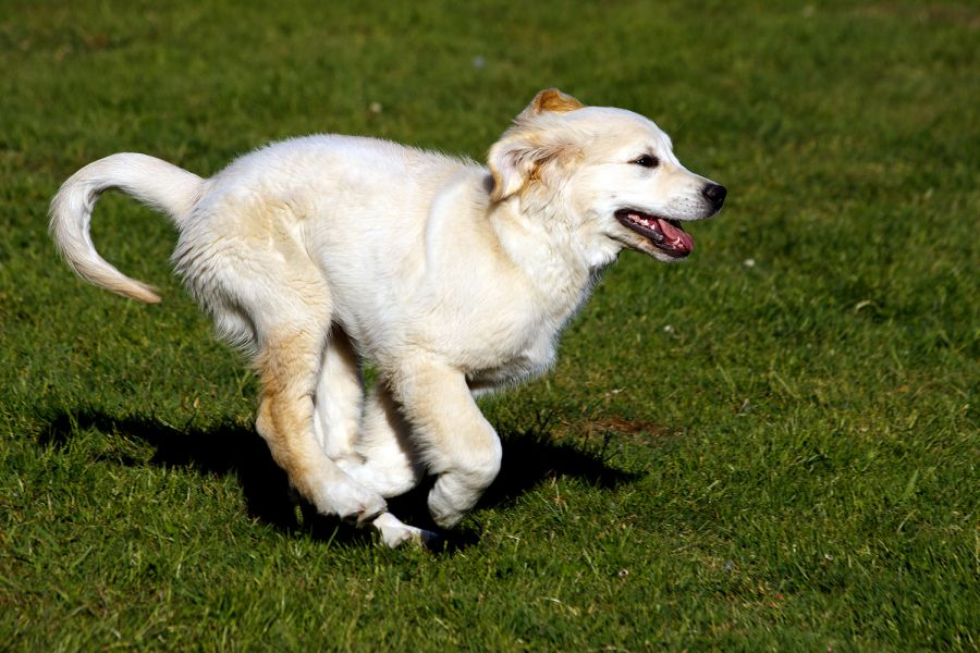 Golden Retriever Welpe Dusty in Action