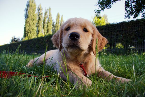 Golden Retriever Welpe Thea